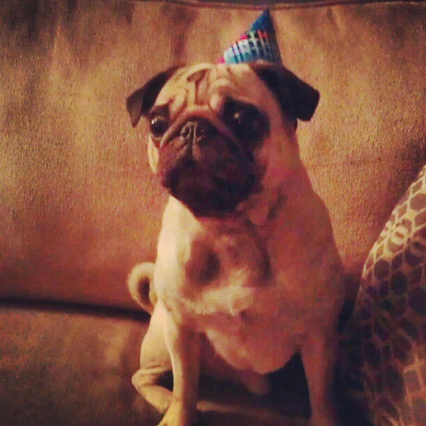 Happy Birthday Sir Pugsley!