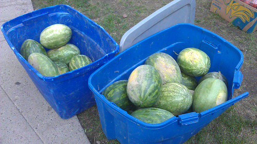 Watermelons from Ditmas Park CSA