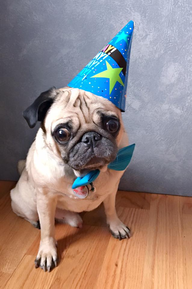 Pug in a birthday hat | Susan Palmer Photography